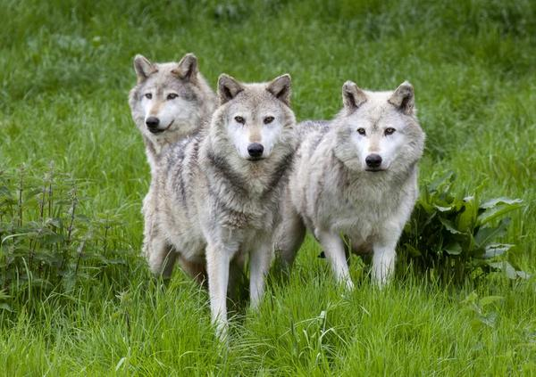 http://www.wildlifeextra.com/go/world/Rewilding-UK.html#cr